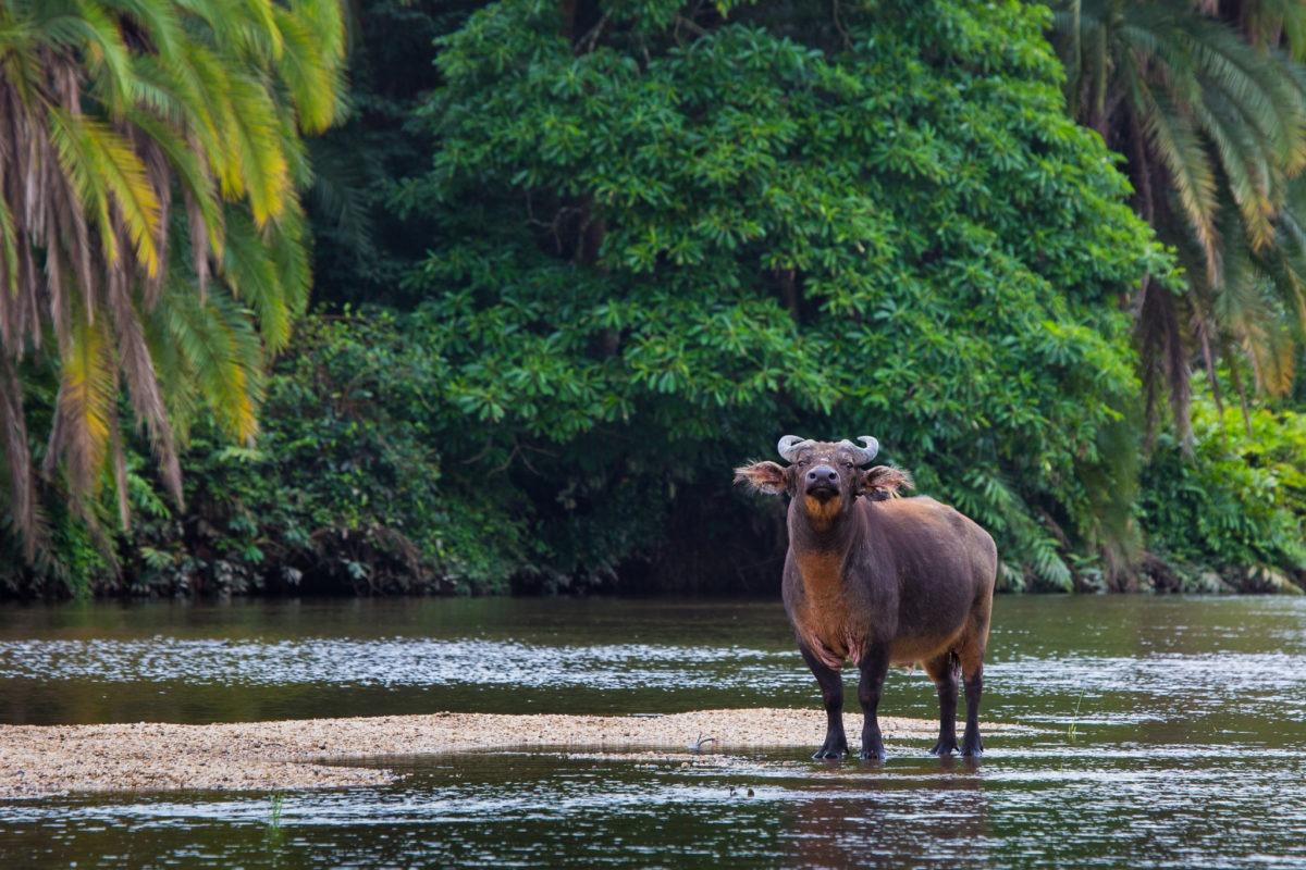 republic of congo odzala wildlife safaris experiences 12